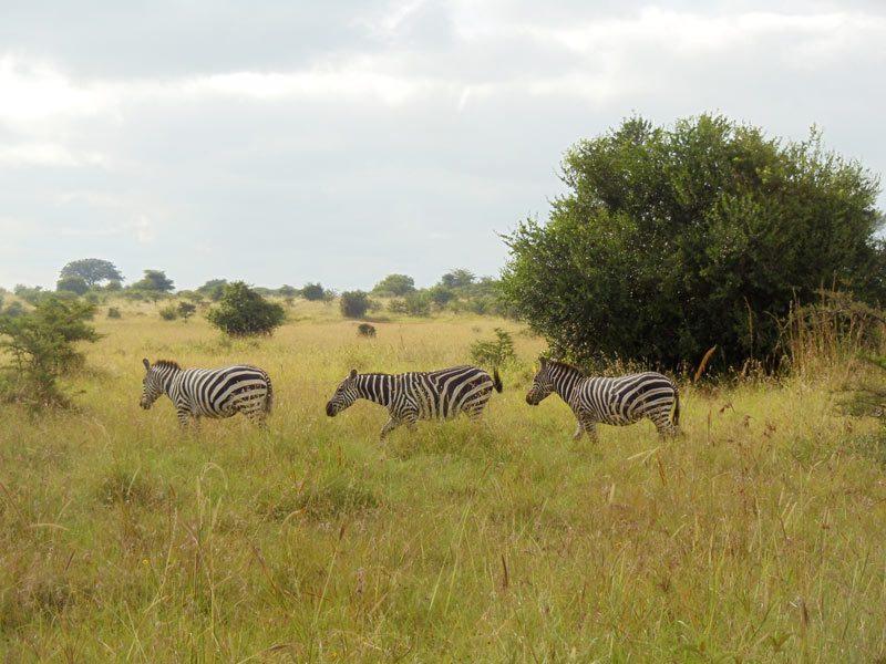 zebras in Nairobi National Park - kenya
