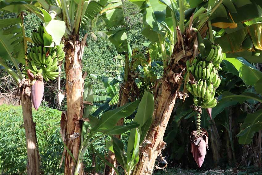 Bananas in Maupiti French Polynesia
