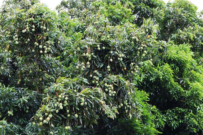 Mango tree in Maupiti French Polynesia