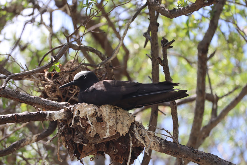 black noddy - bird island tikehau - french polynesia