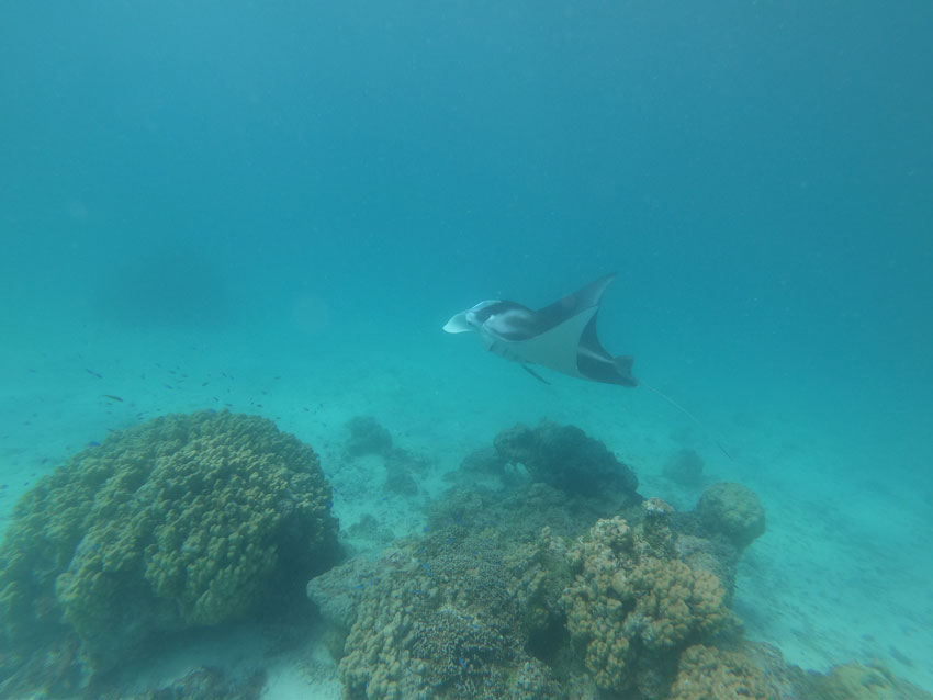 manta ray cleaning station - lagoon tour - tikehau - french polynesia