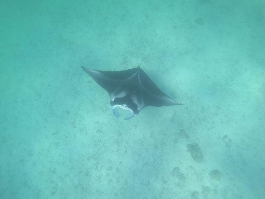 manta ray - lagoon tour - tikehau - french polynesia