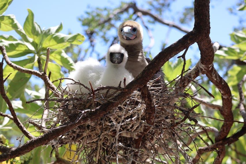 mother and baby in nest - bird island tikehau - french polynesia