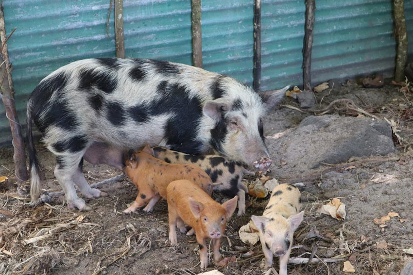 pig and babies - raivavae - austral islands - french polynesia
