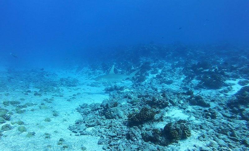 scuba diving tikehau atoll - french Polynesia - hammerhead shark