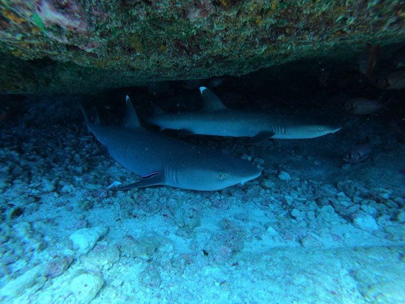 scuba diving tikehau atoll - french Polynesia - nurse sharks in cave
