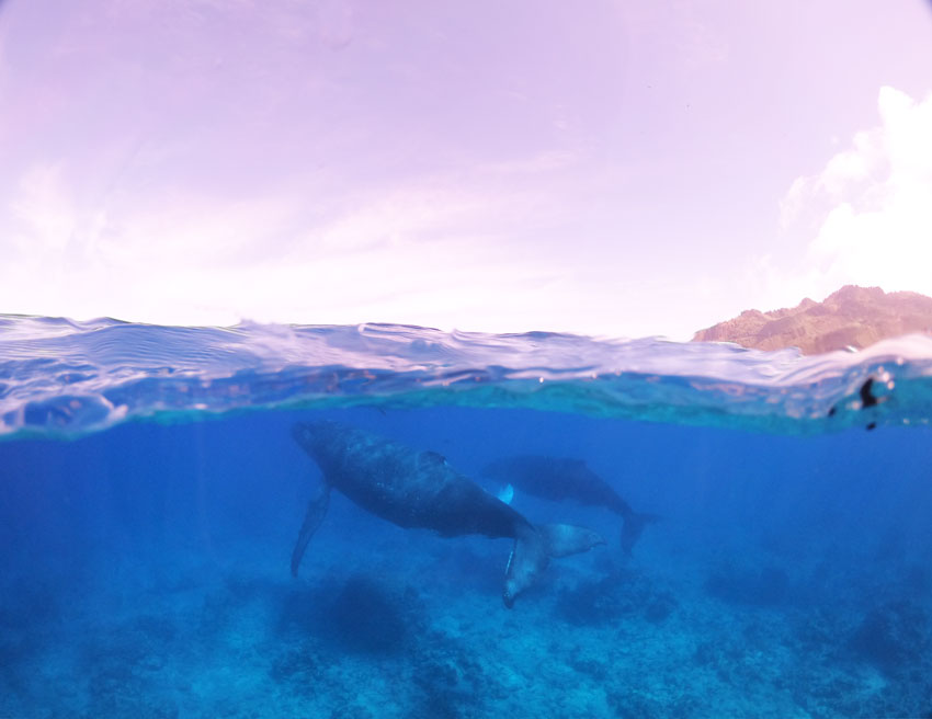 swimming with humpback whales - rurutu - austral islands - french polynesia 3