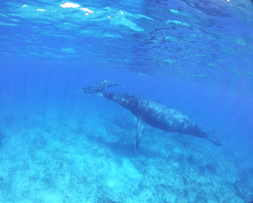 swimming with humpback whales - rurutu - austral islands - french polynesia 4