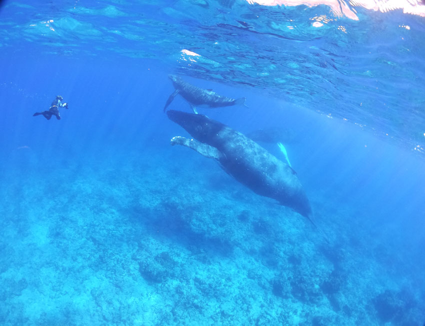 swimming with humpback whales - rurutu - austral islands - french polynesia 5