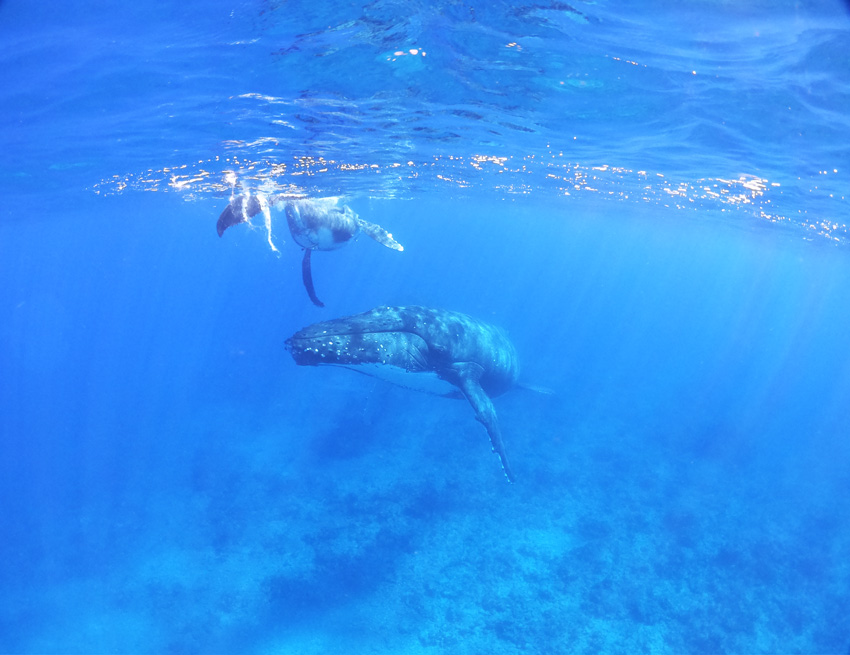 swimming with humpback whales - rurutu - austral islands - french polynesia 6