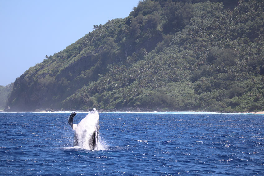 swimming with humpback whales - rurutu - austral islands - french polynesia - whale breaching 2