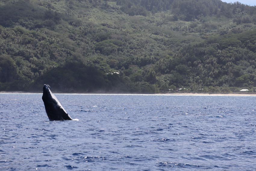 swimming with humpback whales - rurutu - austral islands - french polynesia - whale breaching 3