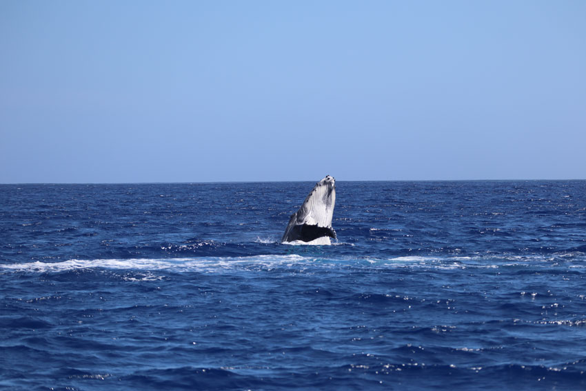 swimming with humpback whales - rurutu - austral islands - french polynesia - whale breaching
