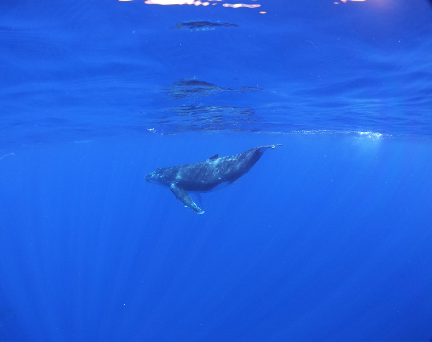 swimming with humpback whales - rurutu - austral islands - french polynesia
