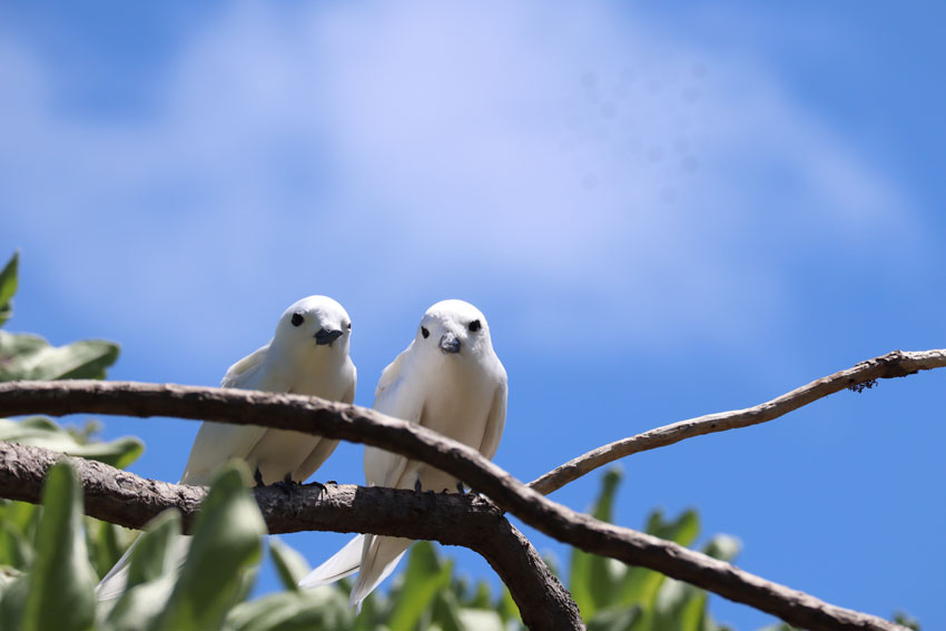 two birds romantic - bird island tikehau - french polynesia