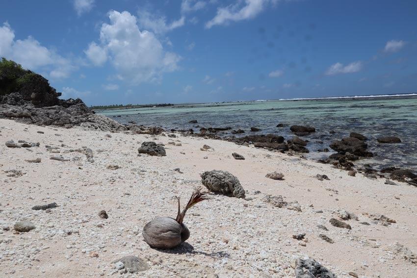 young palm tree sprouting on beach - tikehau - french polynesia