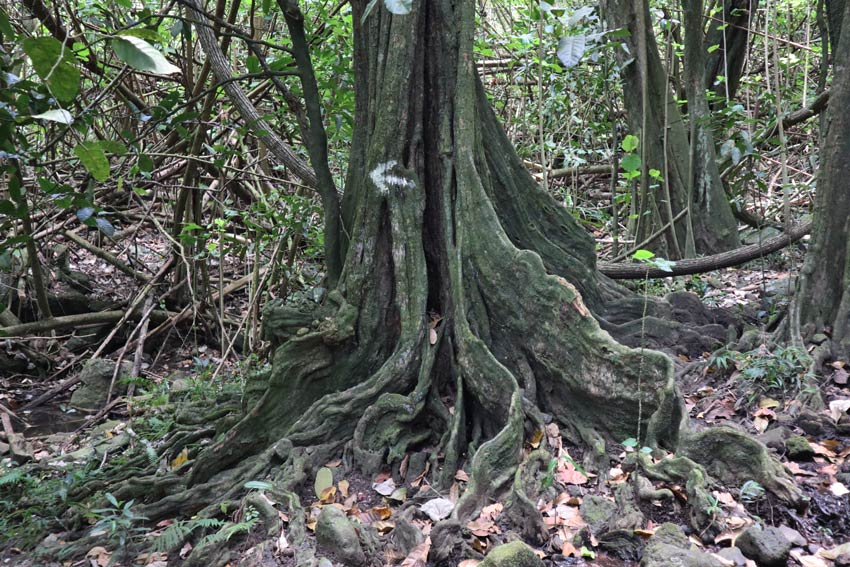 Mape tree 2 Vaipo Waterfall Hike - Hakaui Valley - nuku hiva - marquesas islands - french polynesia