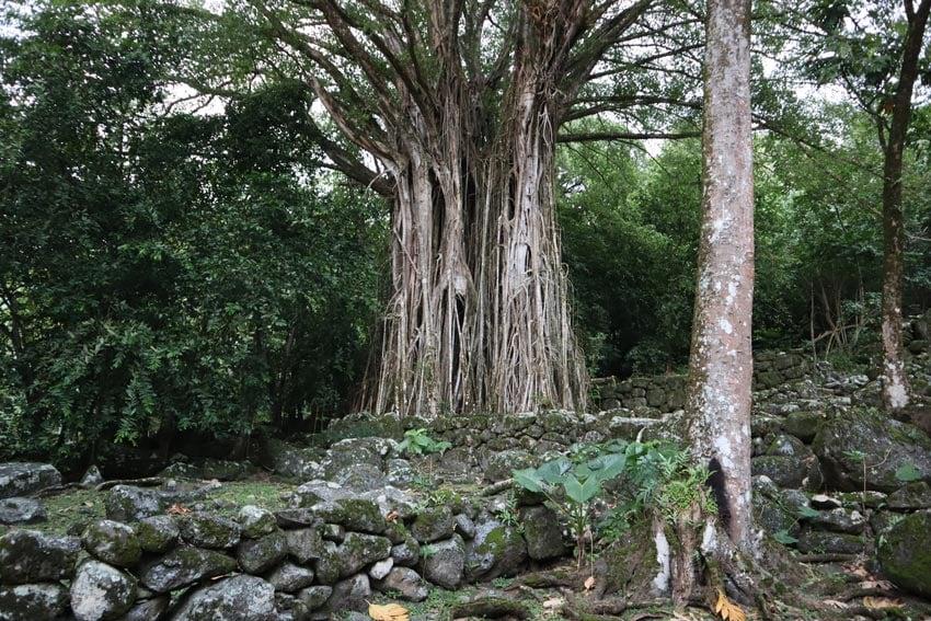 banyan tree in Kamuihei archeological site - nuku hiva - marquesas islands - french polynesia