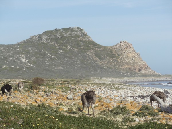 Ostriches Cape of Good Hope